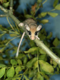 Garden Dormouse, England, UK Photographic Print by Les Stocker