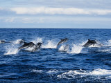 Striped Dolphin, Porpoising, Portugal Fotografisk trykk av Gerard Soury