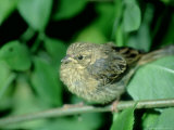Cirl Bunting, Female, England, UK Photographie par Les Stocker