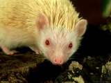 Four-Toed Hedgehog, Albino, England Photographic Print by Les Stocker
