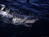 Great White Shark, Surfacing, South Australia Photographic Print by Gerard Soury