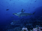 Scalloped Hammerhead Shark, Group, Galapagos Photographic Print by Gerard Soury