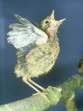 Blackbird, Young, UK Photographie par Les Stocker