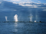 Humpback Whales, a Row of Blows, USA, Pacific Ocean Photographic Print by Gerard Soury