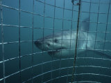 Great White Shark, With Cage, S. Africa Photographic Print by Gerard Soury