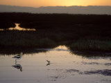 American Avocet, with Baby at Sunrise, Northern California, USA Photographic Print by Roy Toft