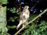 Common Buzzard, Young, England, UK Reproduction photographique par Les Stocker