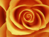 Rose Photographic Print by David Tipling
