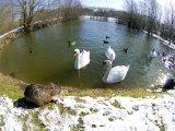 Coypu or Nutria, Lakeside with Swans, France Lámina fotográfica por Gerard Soury