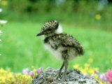 Lapwing, Young, England, UK Photographie par Les Stocker