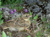 Skylark, Young Photographie par Les Stocker
