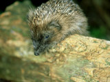 Hedgehog, Aylesbury, UK Photographic Print by Les Stocker
