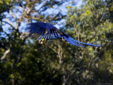 Hyacinth Macaw, Parrot in Flight, Brazil Photographic Print by Roy Toft