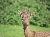 Roe Deer, Buck with Peruke Growth Photographic Print by Les Stocker