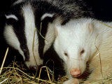 Badger, Erythristic and Normal, UK Photographic Print by Les Stocker