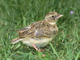 Skylark, Young in Grass Photographic Print by Les Stocker