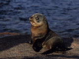 New Zealand Fur Seal, Young, South Australia Photographic Print by Gerard Soury