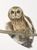 Short-Eared Owl, St. Tiggywinkles Wildlife Hospital, UK Photographic Print by Les Stocker