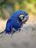 Hyacinth Macaw, Parrot Eating Brazil Nuts, Brazil Lámina fotográfica por Roy Toft