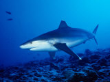 Silvertip Shark, Swimming, Polynesia Photographic Print by Gerard Soury
