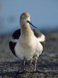 American Avocet, with Babies, Northern California, USA Photographie par Roy Toft
