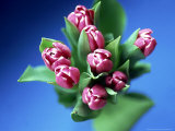 Tulips Photographic Print by David Tipling