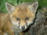 Red Fox, Juvenile Photographic Print by Les Stocker