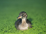 Little Grebe Photographie par Les Stocker