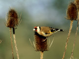 Goldfinch on Teasel, UK Photographic Print by David Tipling