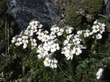 Small White Flowers, Chile Photographic Print by Pablo Sandor