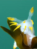 Nudibranch, Feeding, UK Fotografie-Druck von Mark Webster