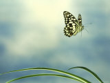 Checkered Swallowtail in Flight Photographic Print by Barrie Watts