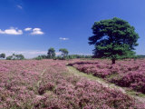 Bell Heather and Ling, the New Forest, UK Photographic Print by Ian West