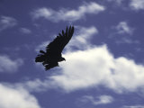 A Condor, Chile Photographie par Pablo Sandor