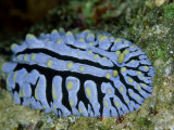 Striped Nudibranch, Fury Shoal, Egypt Fotografisk trykk av Mark Webster
