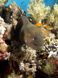 Moray in Coral, Red Sea Fotografie-Druck von Mark Webster