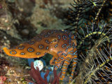 Blue Ring Octopus, Komodo, Indonesia Photographie par Mark Webster
