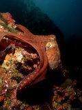 Common Octopus, Moving Over Reef, Burma Fotografie-Druck von Mark Webster