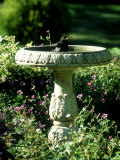 Blackbird, Bathing in Birdbath, UK Photographie par Ian West