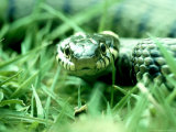 Grass Snake, Hampshire, UK Photographic Print by Ian West