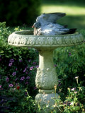 Wood Pigeon in Birdbath, UK Photographic Print by Ian West