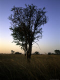 Tree at Sunset, South Africa Prints by Ryan Ross