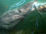 Basking Shark, Caught in Gill Net, UK Photographie par Mark Webster