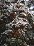 Icy Red Berries, Boulder Photographic Print by Michael Brown