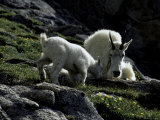 Wild Goats, Boulder Prints by Michael Brown