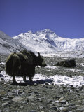 Yaks at Everest Base Camp, Tibet Fotografisk tryk af Michael Brown