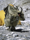 Yak in Tibet Affiches par Michael Brown