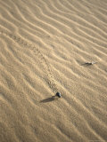 Beetle Leaves Tracks in Sand, Morocco Photographic Print by Michael Brown