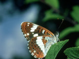 White Admiral, Waterperry, UK Photographie par John &amp; Jane Woolmer