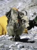 Yak in Tibet Fotografisk tryk af Michael Brown